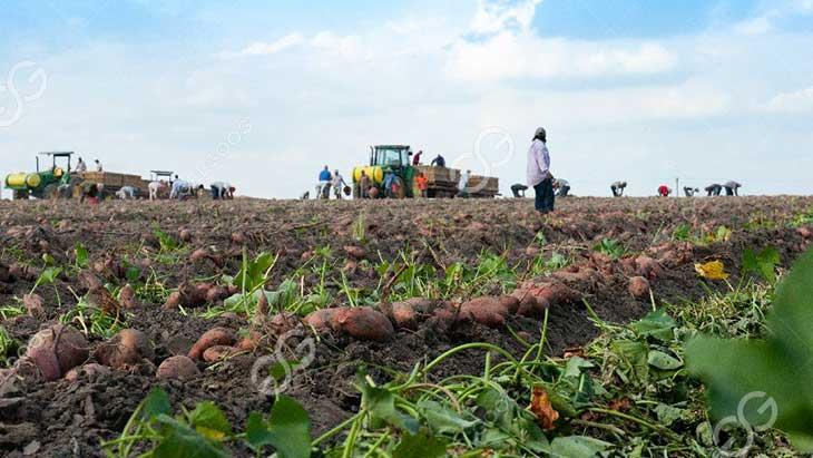 sweet potato harvest at family farm